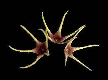 Orbea lutea flowers