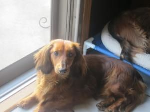 Adopt Maddie On Adoptable Dachshund Dog Long Haired Dachshund