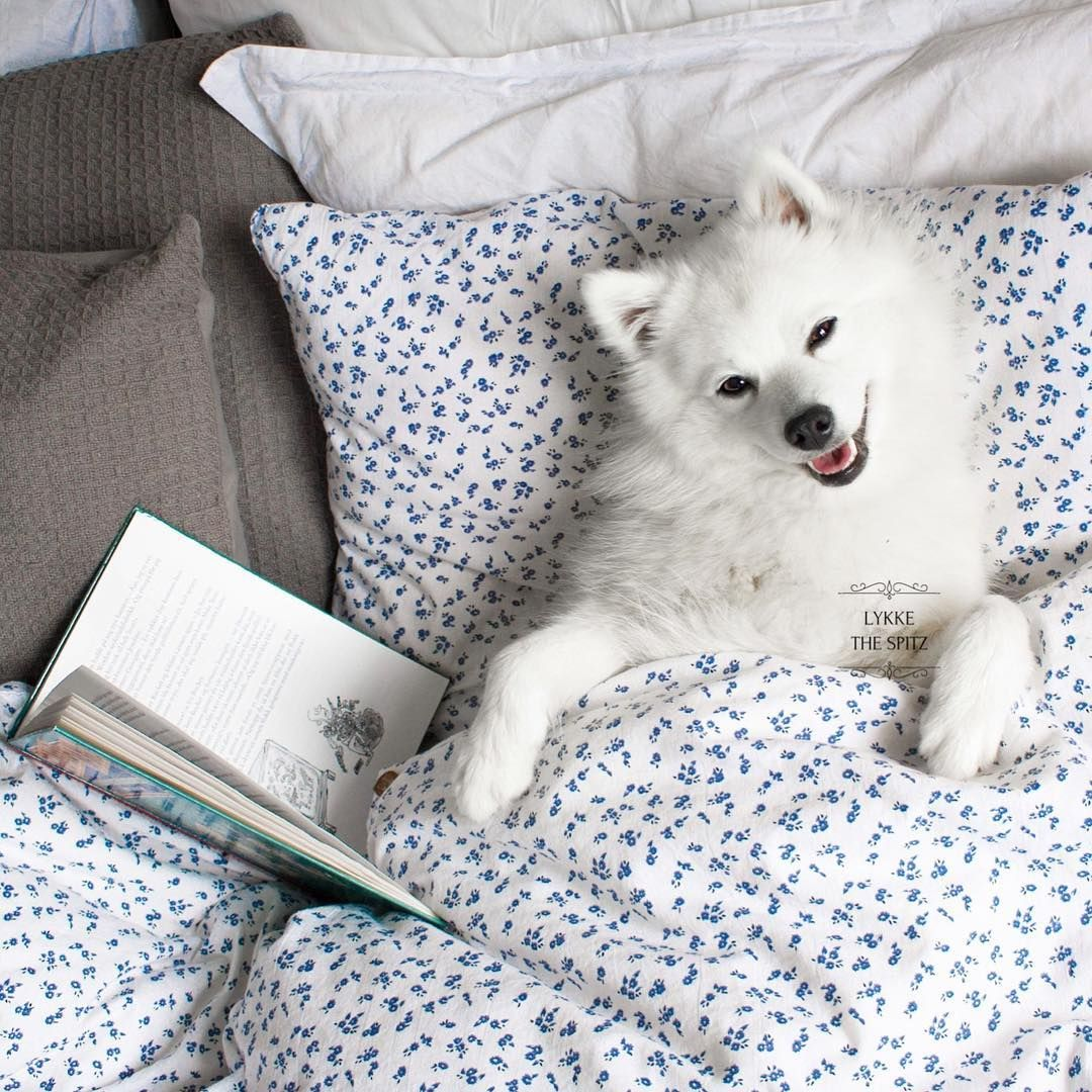 "791 likerklikk, 117 kommentarer – FRIENDLY DOG  - LYKKE  🎀 (@lykkethespitz) på Instagram: ""I love to read a good book in bed. 📖 Do you like to read? 🤓 My favorite books are the Harry Potter…"""