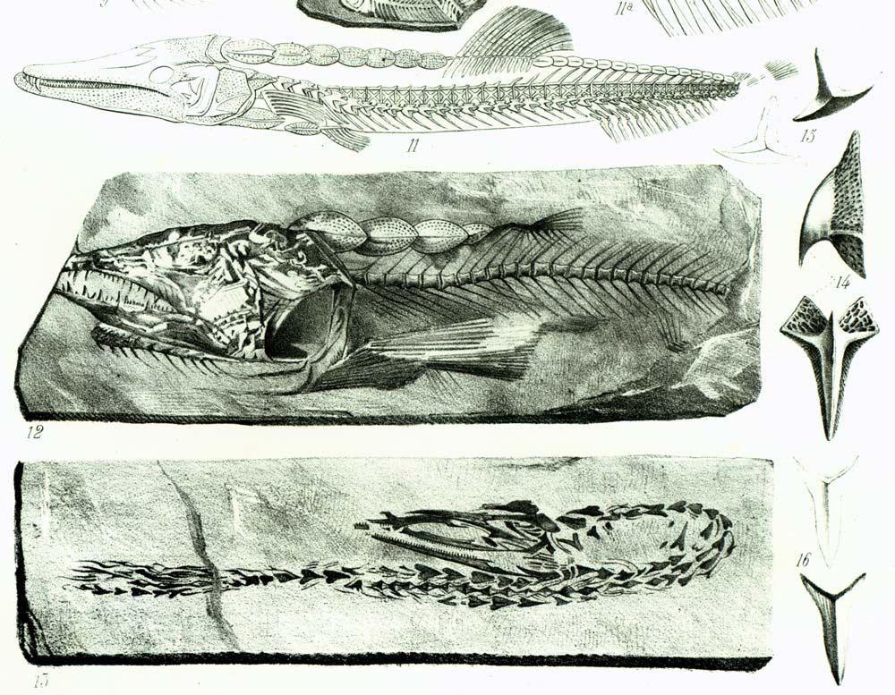 1853 Truite Anguille Brochet Poissons Fossiles Gravure Etsy Animal Anatomy Paleontology Etsy