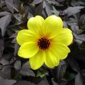 Dahlia Mystic Illusion Tried And True Dahlia Flower Annual Flowers Blossom Garden