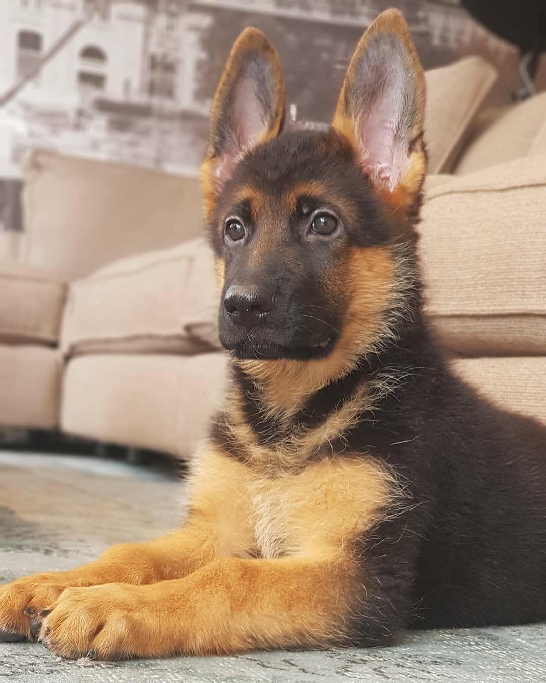 Pin On German Shepherds Puppies