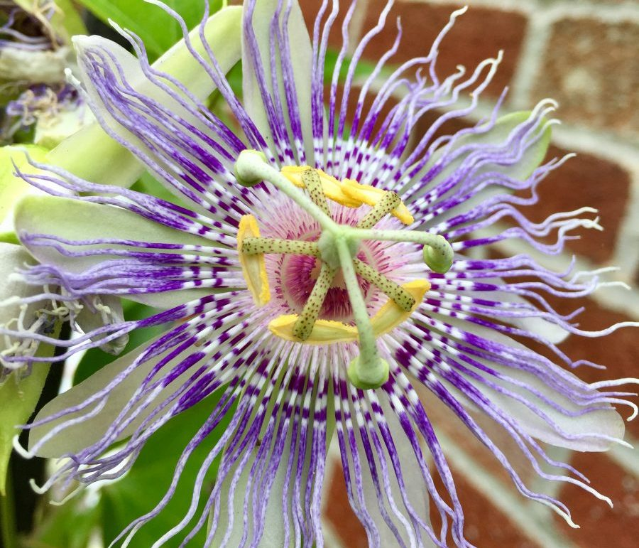 Passionflower Passiflora Incarnata Wintergreen Botanicals Maria Noel Groves Clinical Herbalist Herbal Clinic Herbs For Sleep Passion Flower Herbalism