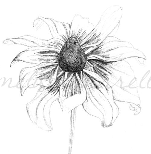 Black Eyed Susan Flower Drawings