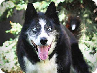Denver Co Siberian Husky Mix Meet Junior A Dog For Adoption Siberian Husky Mix Dog Adoption Kitten Adoption