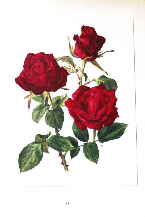 Red Rose Botanical Art 1962 Vintage Red Roses Art Vintage Floral