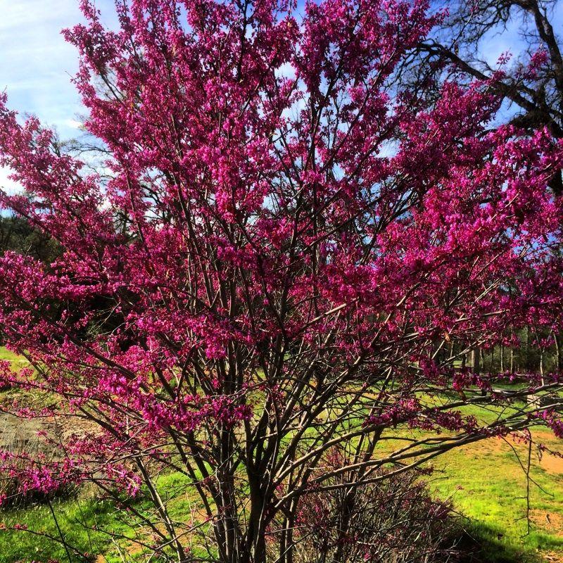 Redbud judas tree cercis species clusters of pink or white pea redbud judas tree cercis species clusters of pink or white pea like mightylinksfo