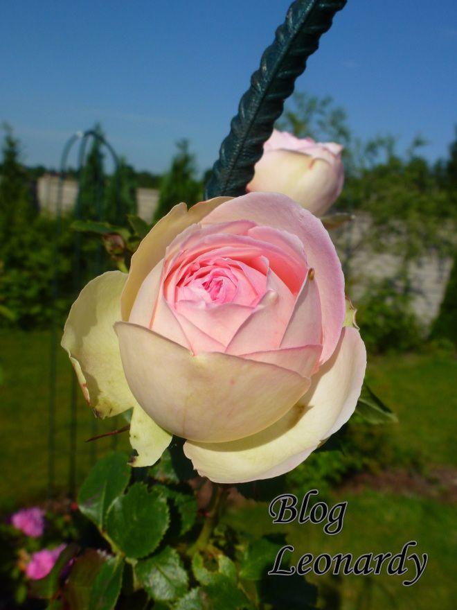 Moja Rozana Ulubienica Eden Rose 85 Flowers Plants Rose