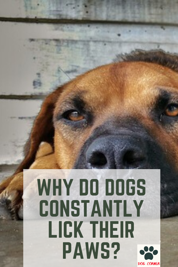 Why Do Dogs Constantly Lick Their Paws There Are Different Causes As To Why Dogs Lick Their Paws Some Are Trivial Why Do Dogs Lick Why Dogs Lick Dog Corner