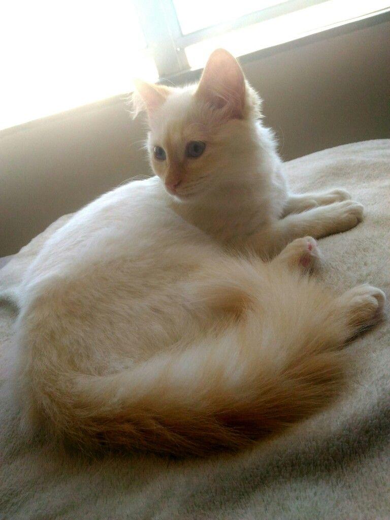 Zoe My Ragdoll Red Point 5m Cute Cats Kitten Love Ragdoll Cat