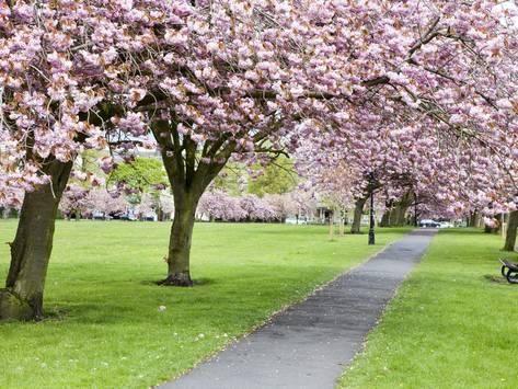 Cherry Blossom On The Stray In Spring Harrogate North Yorkshire Yorkshire England Uk Europe Photographic Print Mark Sunderland Art Com In 2021 Harrogate Cherry Blossom Blossom Trees