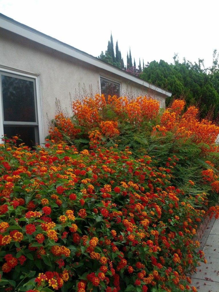 red bird of paradise (Caesalpinia pulcherrima) & orange lantana ...