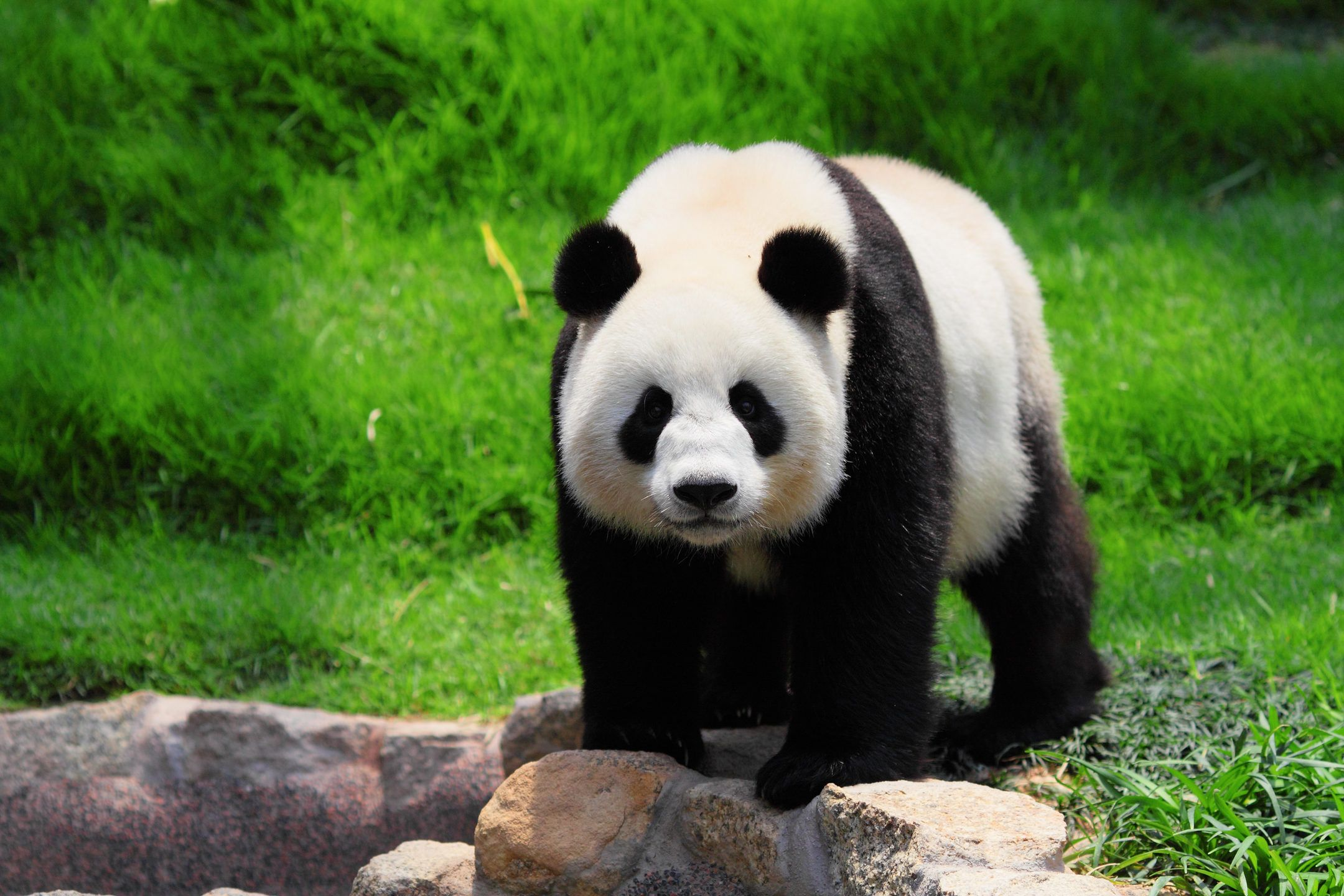 My Panda – Lovely Pandas & Bears Wallpapers – Who doesn't love ...