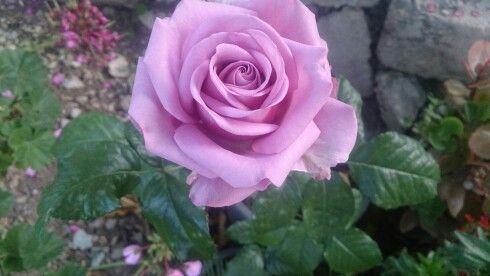 Light Violet Rose ورد بنفسجي Rose Plants Flowers