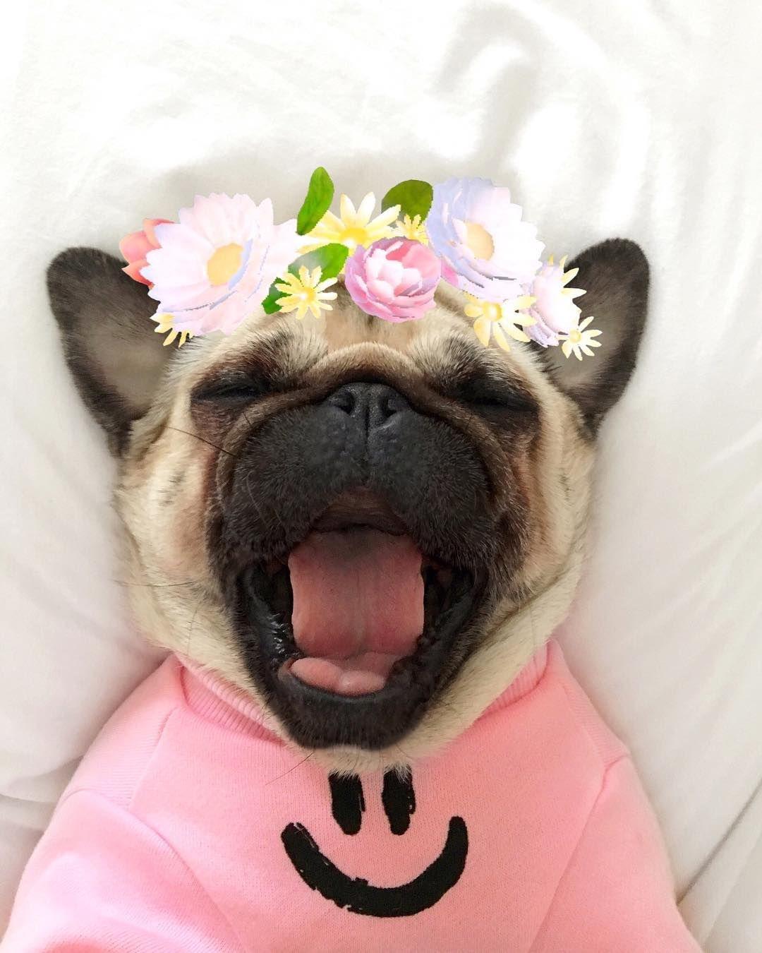 I Need More Beauty Sleep Adorable Pug Princess Pugs Engracados