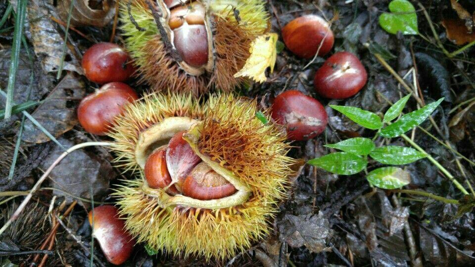chestnut : 밤' 검단산(하남/광주)