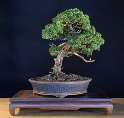 bonsai woods and photographs on pinterest black walnut tree trunk