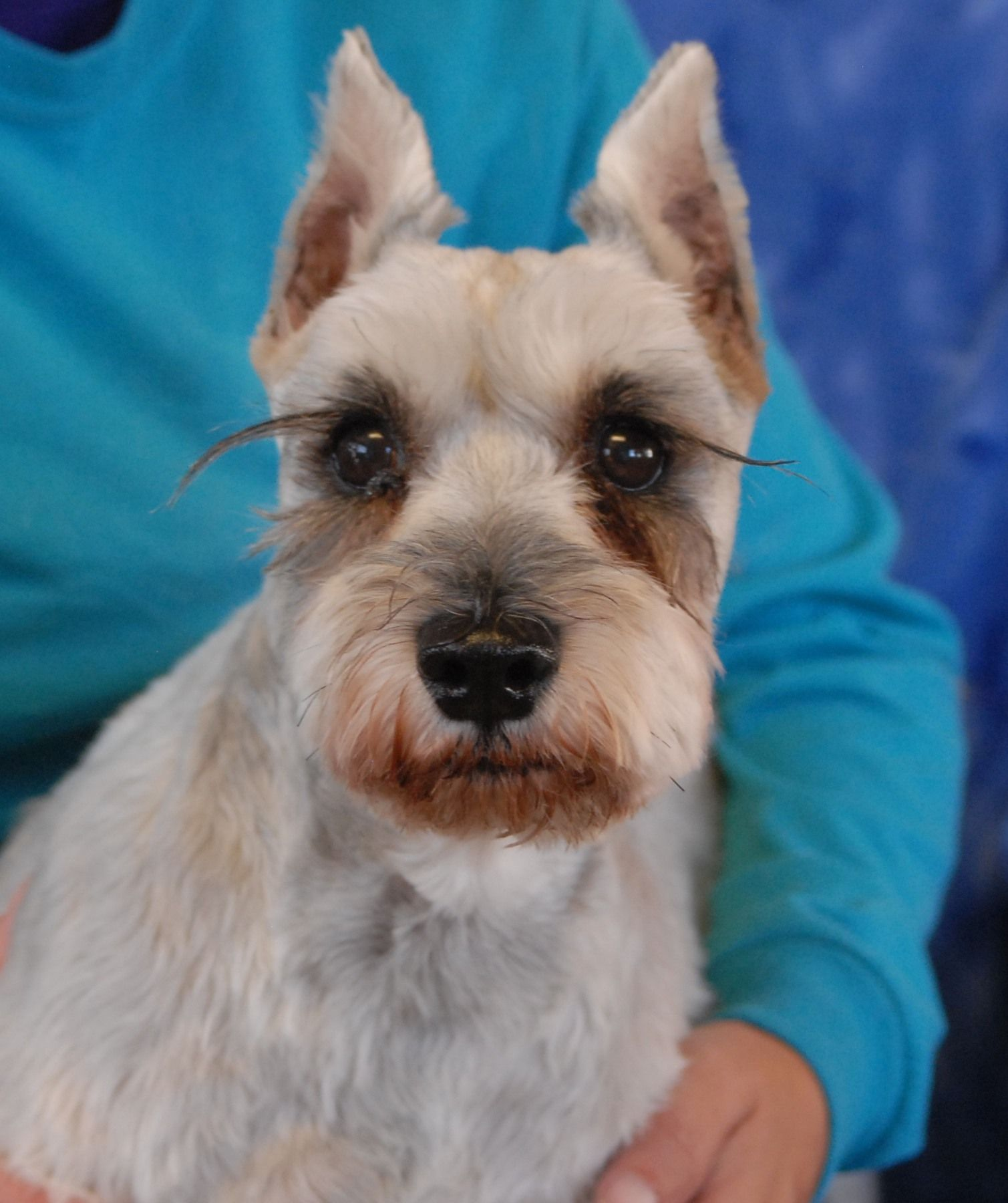 Wyatt is a gentle older boy debuting for adoption today at Nevada SPCA (www.nevadaspca.org).  He is a Miniature Schnauzer, about 10 years of age and neutered.  Wyatt likes other friendly dogs and needs continued regular professional grooming.  He lost his previous home because he reportedly does not like children.  Instead, Wyatt likes being around adults and seems best-suited for a calm home environment.