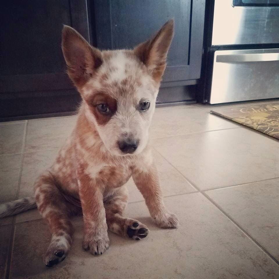 Pin By Lois Leader On Rudy Dogs Acd S Heelers Aussie Cattle Dog Heeler Puppies Cattle Dog
