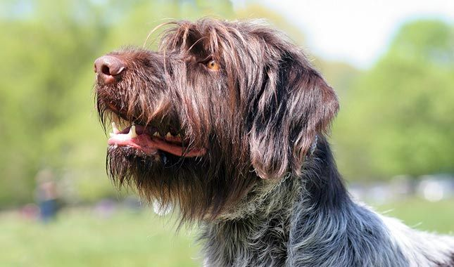 Wirehaired Pointing Griffons are funny and lovable, and ...
