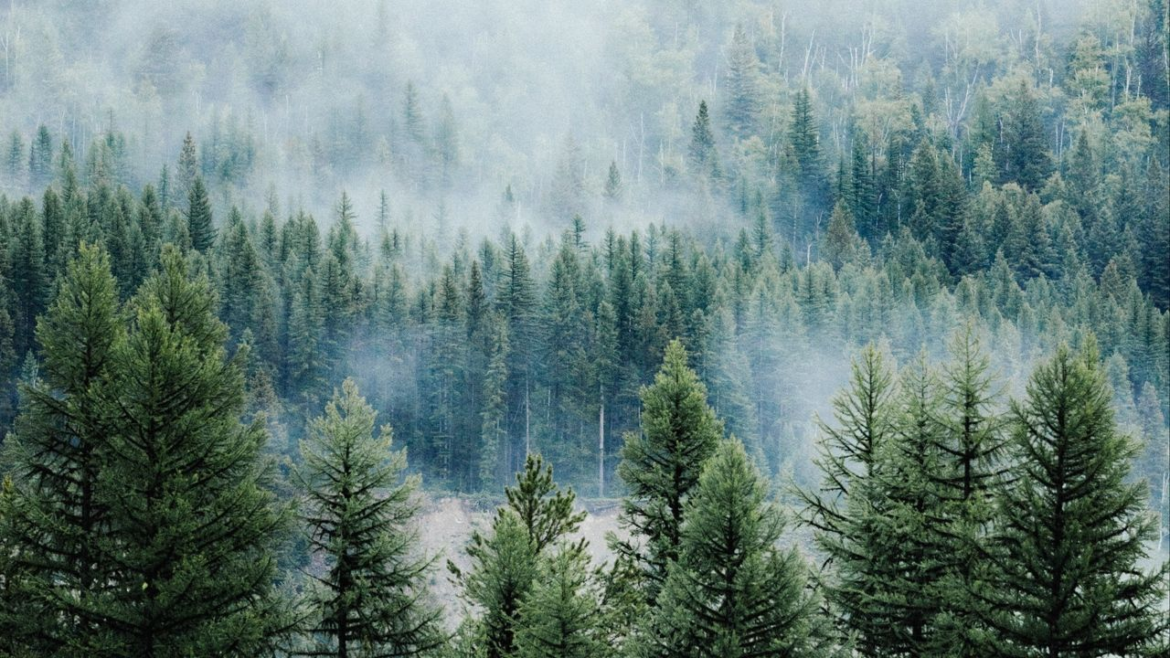 Wallpaper wald, bäume, nebel, spitzen, fichte, kiefer
