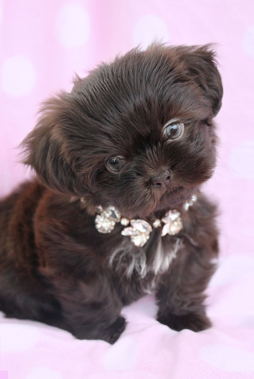 Yorkie Shih Tzu mix animals Pinterest Shih tzu