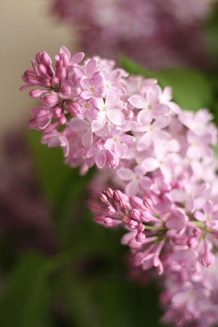 102 365 Lilac Flowers Pretty Flowers Beautiful Flowers
