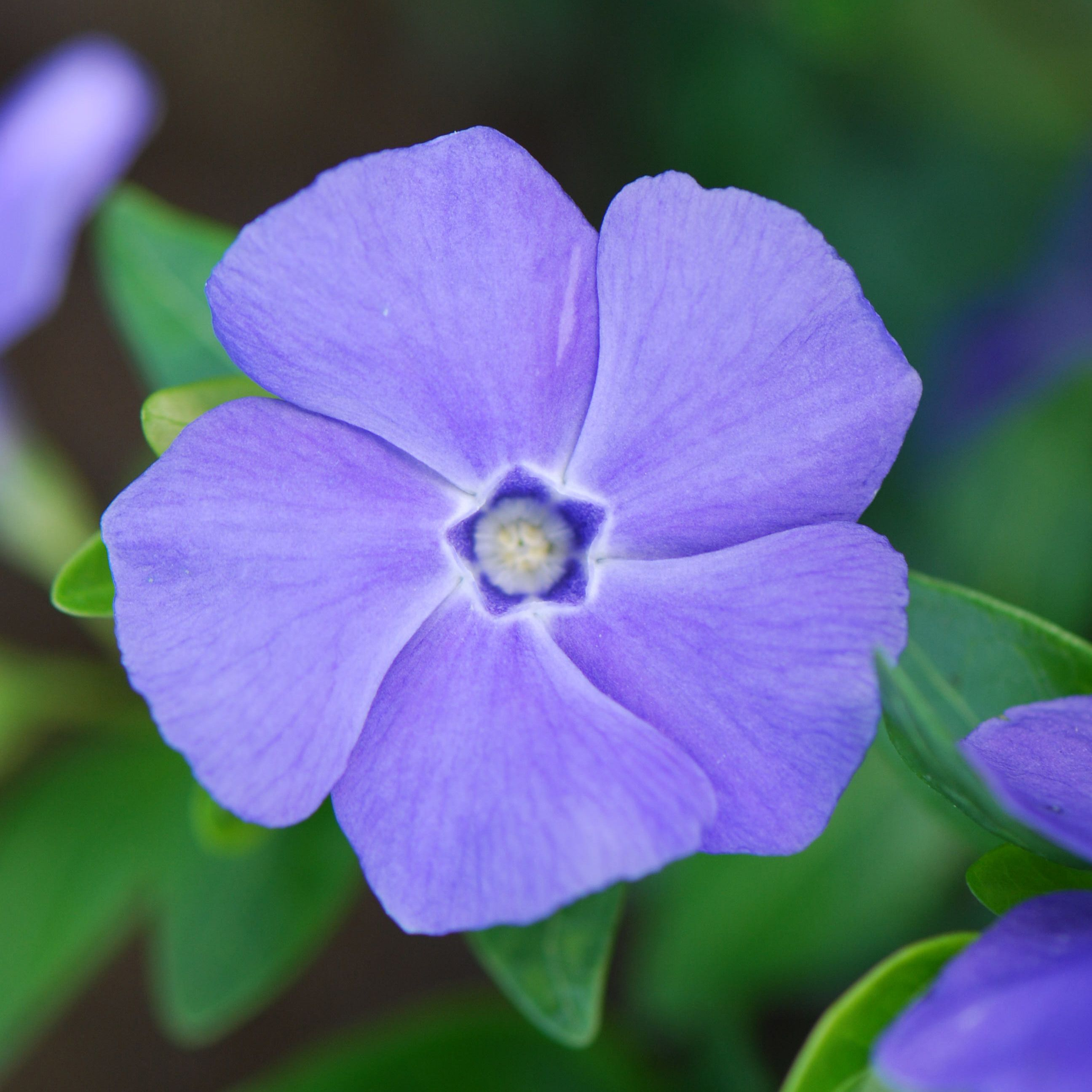 287fe766e Vinca minor 'Bowles's Variety' - lesser periwinkle (syn. 'La Grave') | Make  it grow | Plants, Flowers, Shade plants