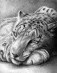 Snow Leopard by ~Angela-T on deviantART