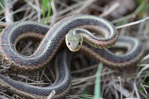 Eastern Garter Snake Eastern Garter Snakes Are Non Venomous But Will Strike And Bite