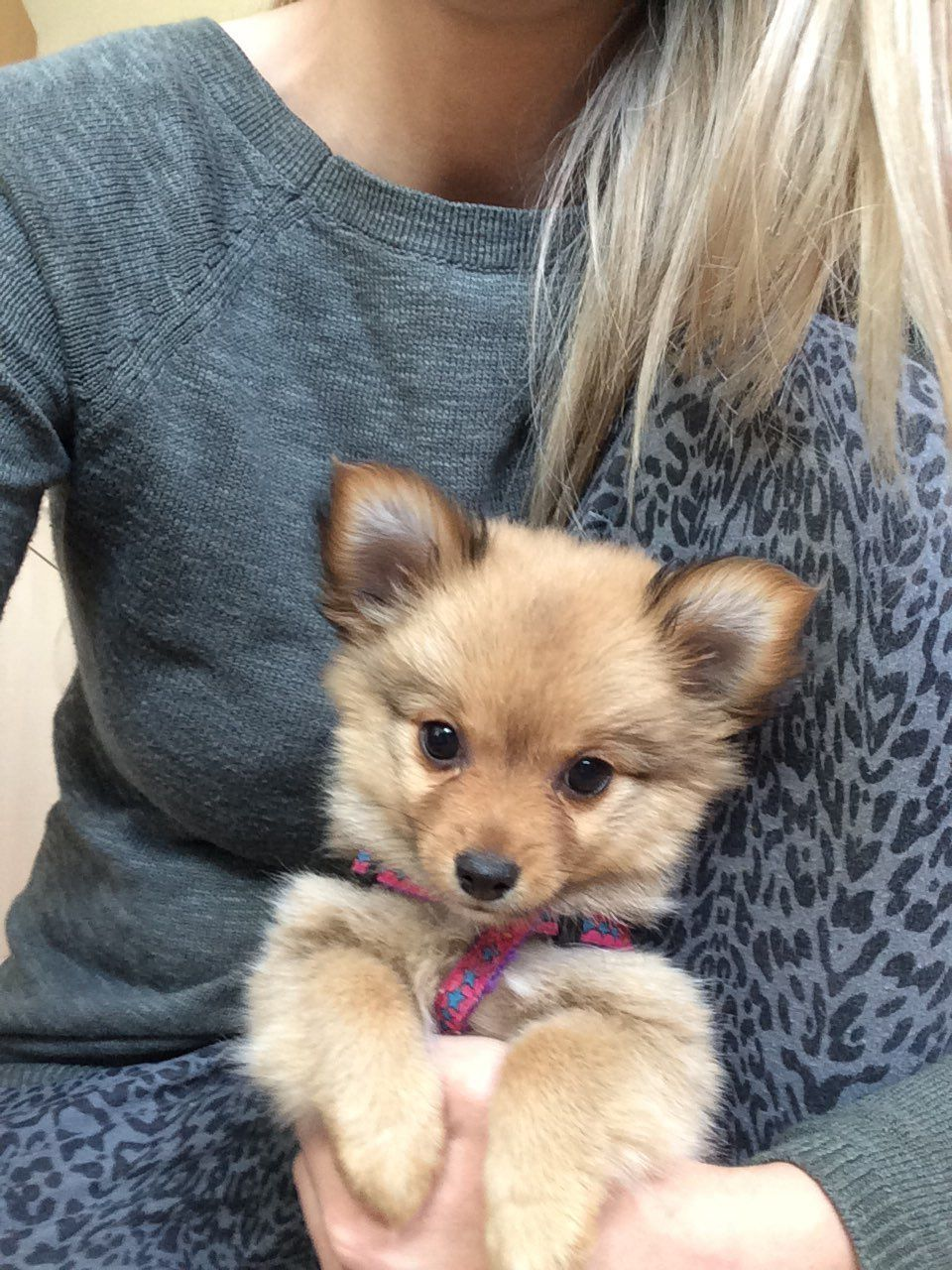 Pomchi Female For Sale Bradford West Yorkshire Pets4homes