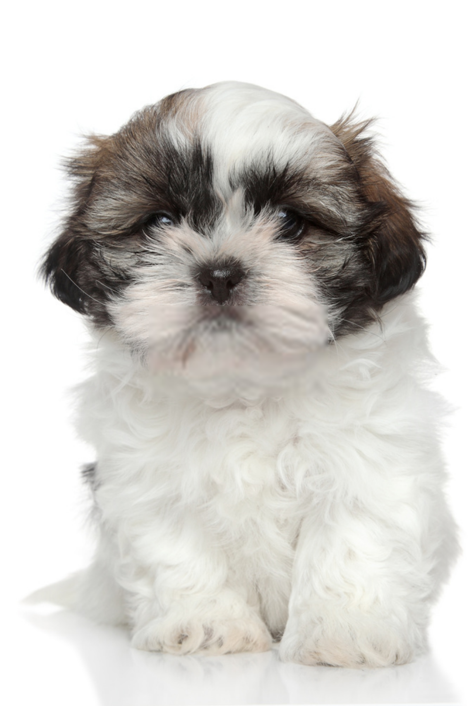 Shih Tzu Puppy Shih Tzu Dogs Photos Shih Tzu Puppy Shih Tzu Dog Puppies