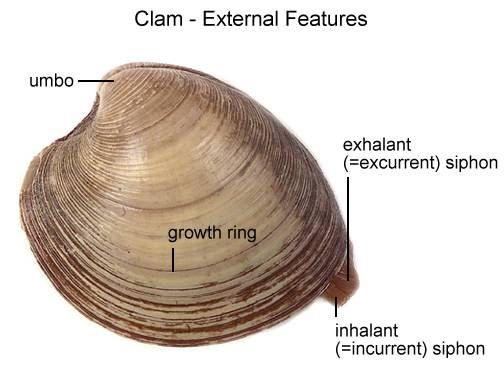 Clam Dissection    Biology Junction