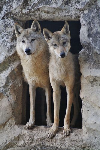 Tibetan Wolfs at the Himalayan Zoo, Darjeeling