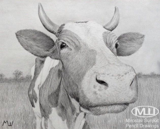 Curious cow pencil drawing by miroslav sunjkic farm animal nature domestic animals pencil drawing artwork realistic cow curious grass