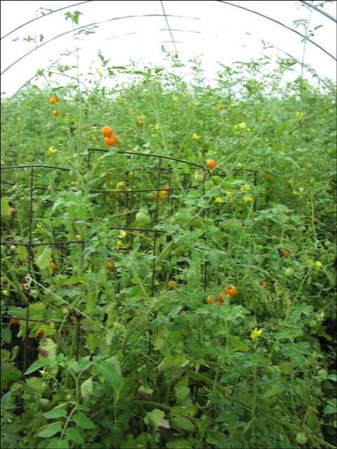 Top Ten Vegetables For St Louis 2 Cherry Tomatoes Cherry