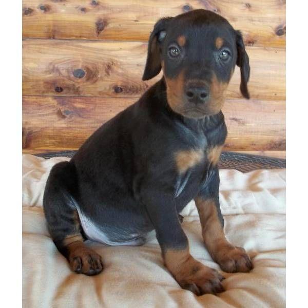 Baby Doberman Dobermans Pinterest To be, Dog sale