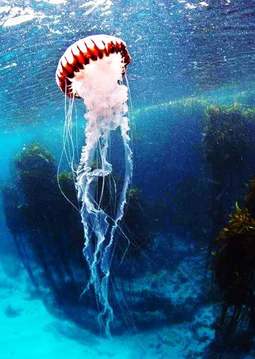 Striped fish purple jelly facts