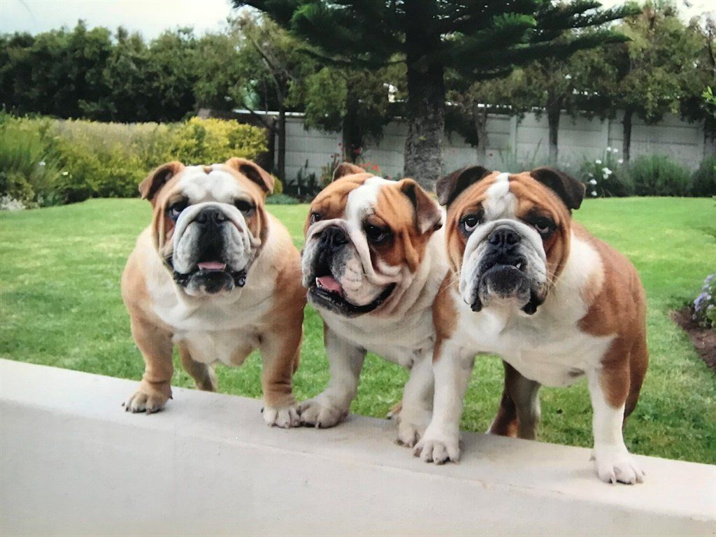 South Africa S Five Most Expensive Puppy Breeds Puppy Breeds