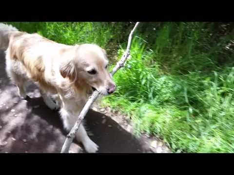 Cute Dog Carrying A Really Big Stick Back To The Car After Hiking