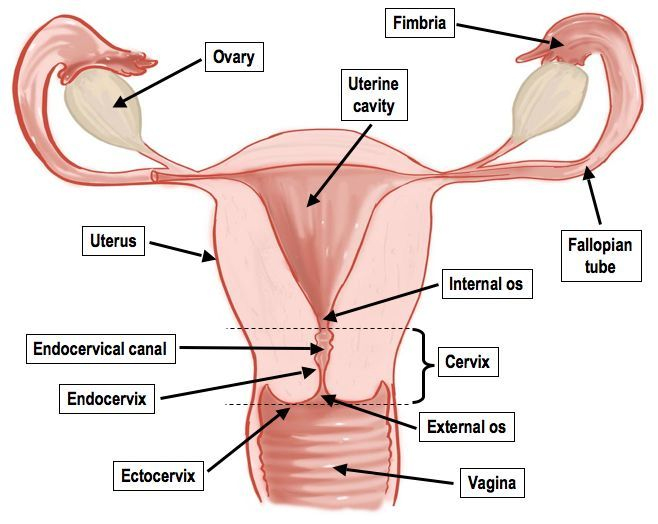 This Image Shows The General Internal Anatomy Of The Female