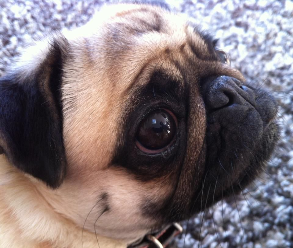 Stunning Kc Registered Fawn Pug Pups For Sale Fawn Pug Puppies