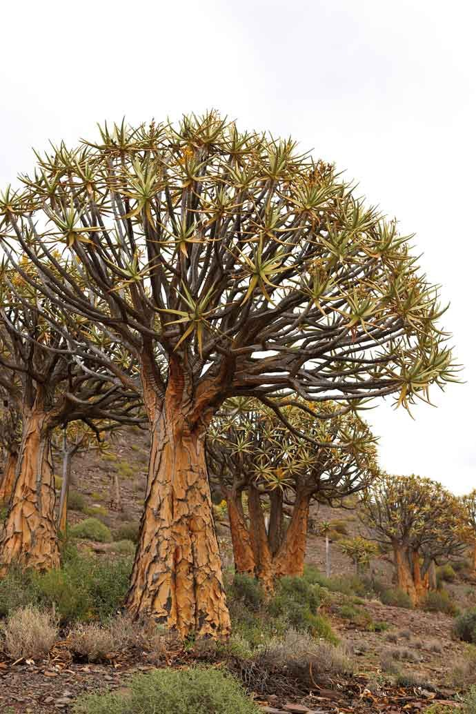 Quiver Tree (Kokerbome) near Clanwilliam Nature tree