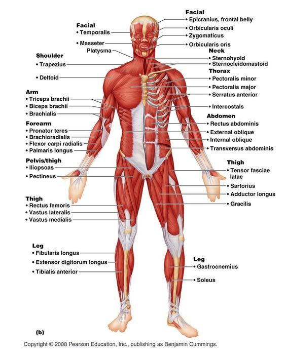 Muscular System Labeled Female Muscular