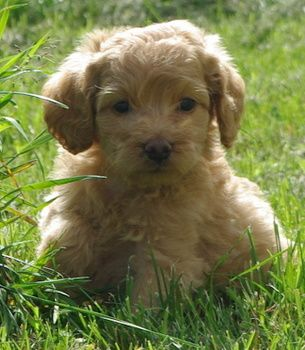 The Cutest Mixed Dog Breeds Cute Small Dogs Designer Dogs