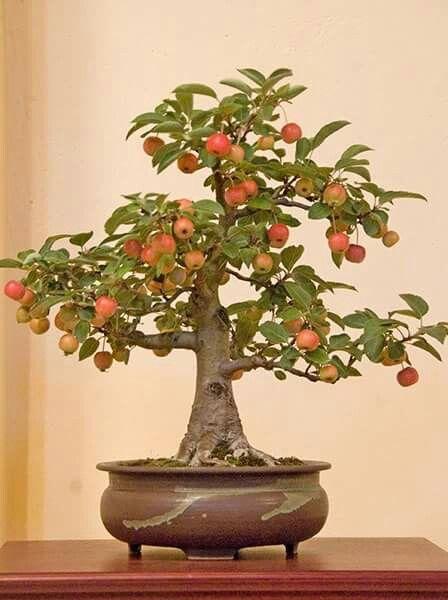 Pin By Lakshmi Dantuluri On Gardens Frutal Bonsai Bonsai