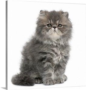 Persian Kitten 2 Months Old Sitting Persian Kittens Persian Cat White Persian Kittens