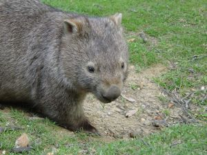 Mr Wombat