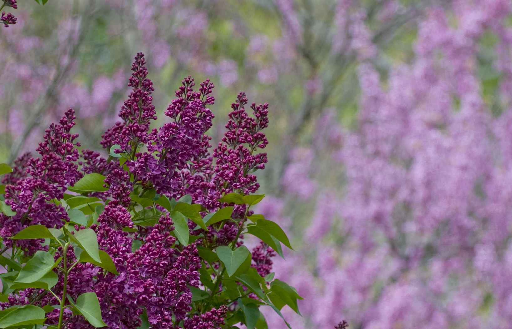 Late April Lilac And Redbud Garden Calendar Master Gardener Flower Garden