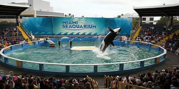 Call Miami Seaquarium out on their illegally small orca tank! Lolita's tank violates the APHIS regulations on acceptable tank size. She has been living in this tiny tank for over 40 years, and it's time to get her out! Sign to bring her illegal conditions to attention & hopefully retire her to a sea-pen where she can be rehabilitated for release to the wild.